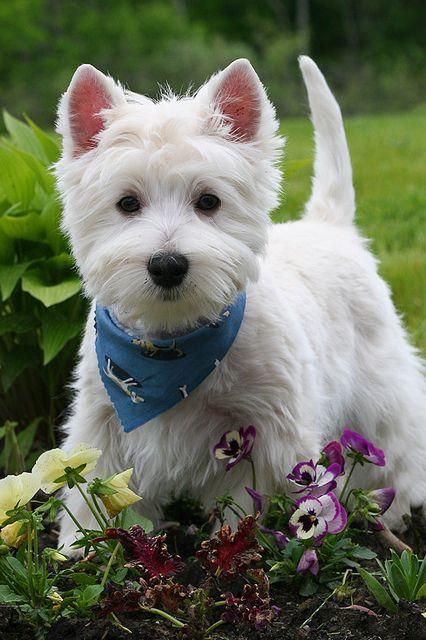 Little Westie looking smart in his kerchief.