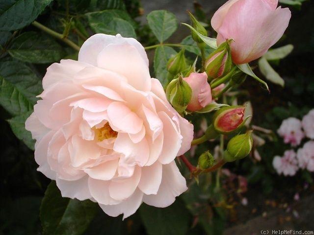 The Generous Gardener Rose Photo English Roses