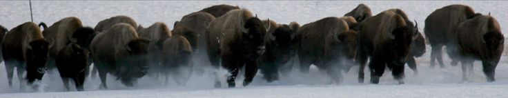 Buffalo Field Campaign Bison Habitat Mapping Project