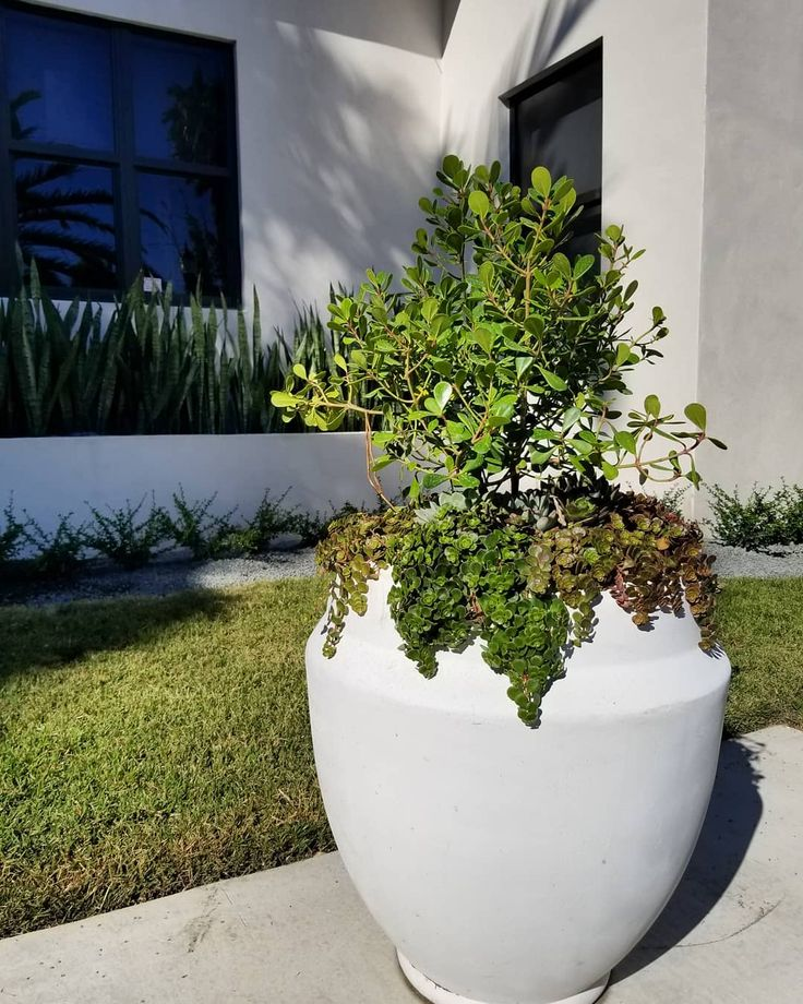 Beautiful and low maintenance all in one Clusia Nana and Succulents  #beautiful #succulents #succulentlover #outdoorplants #naturelover #nature #plants #design #landscape #landscaping #thinkgreen #thegardeninthecity #midtown #wynwood #miami #brickell #sobe