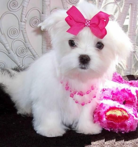 puppies for sale | lovely Maltese puppies for sale,