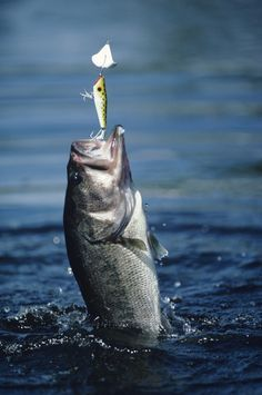 One of the best times of year to fish for bass is in September and throughout the rest of the fall. During the fall months bass tend to gorge on food as they prepare to for the long winter months ahead. They're incredibly active and will jump towards any food they can get so if you can find a school drop your own lure into the water you're bound to catch tons of bass.