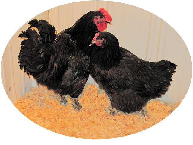 Black Giant Chicken (as hatched)