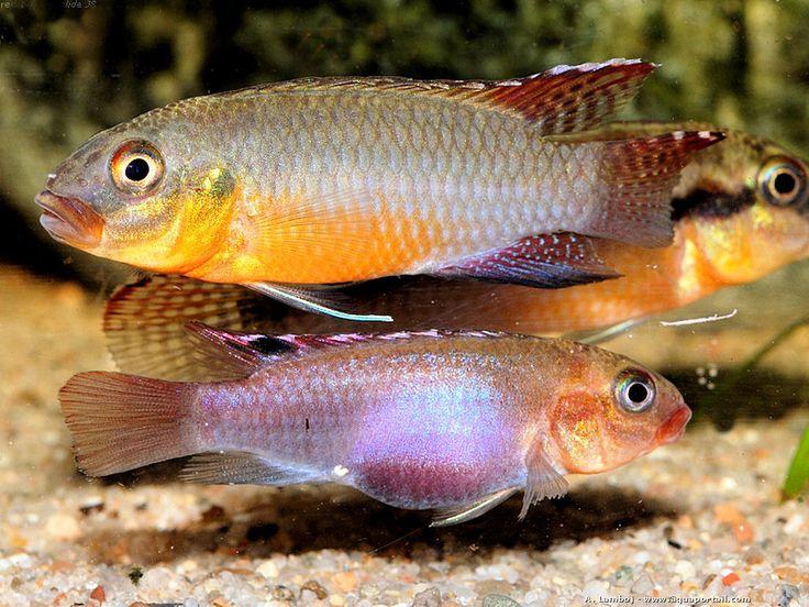 17 meilleures id es propos de cichlid s sur pinterest for Poisson tropicaux eau douce