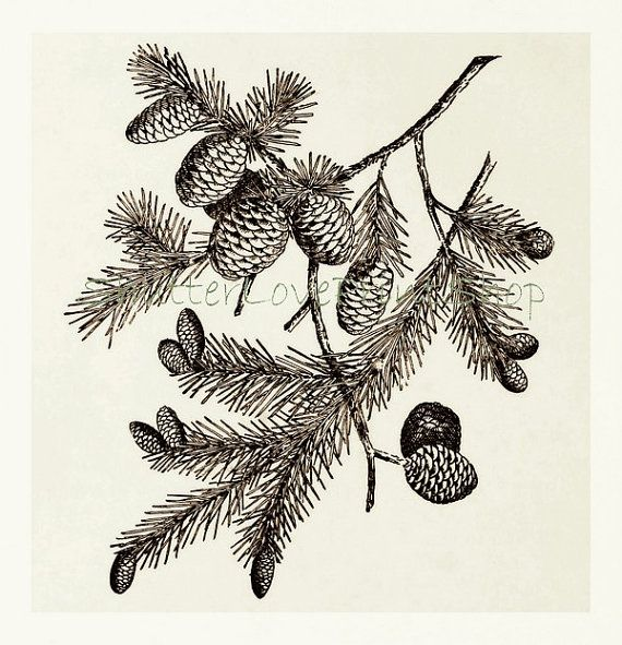 Pinecones Pine Cone Art Black Spruce by ShutterLovePrintShop