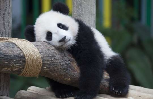 Baby panda at Malaysian National Zoo receives name - Anadolu Agency/Getty Images/Getty Images