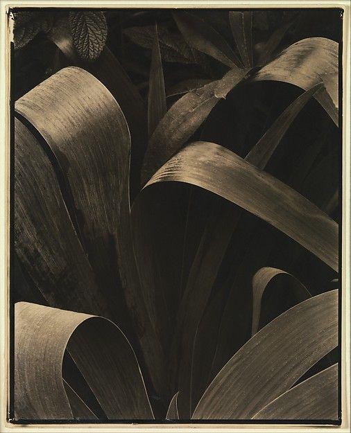 Fotografía de Paul Strand, Iris en el jardín, Georgetown, 1928.