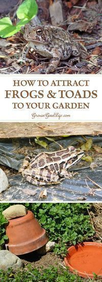 Attracting and encouraging frogs and toads to live in your garden keeps the pest population down and reduces the need for pesticides or other natural insect deterrents. Just one frog or toad can eat up to 10,000 pests during the garden season. Here are some tips on how to attract and encourage toads and frogs to live in your garden. #gardenpesttips #gardenpests