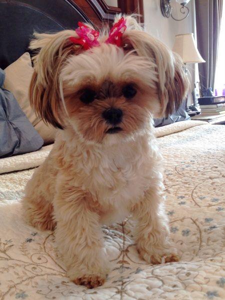 Shorkie puppies,Shorkie,Shorkie Puppies For Sale,Shorkie Breeder | pricelesspups.net