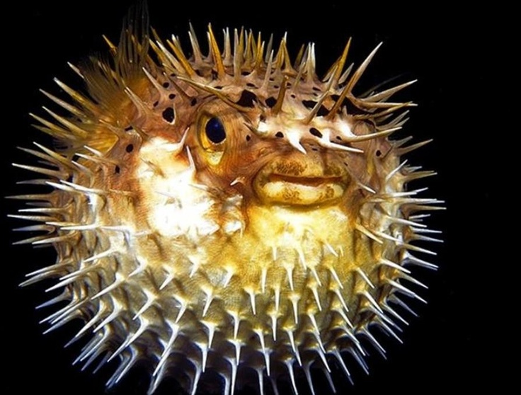 31 best pufferfish images on pinterest ocean creatures for Blowfish vs puffer fish