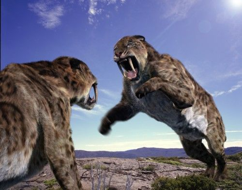 "Smilodon, also called ""The Sabre-Tooth Cat"", as well as previously and mistakenly called ""The Sabre-Tooth Tiger"", was the biggest and most powerful sabre-toothed cat of all times, and defiantly the most famous prehistoric cat. It lived in South America at 2.5 million to 100,000 years ago. Originally from North America, Smilodon came to South America 2 MYA and replaced the native hunters, Phorusrhacos, as top predators. Smilodon was between 100 to 500 kg depending on the sp..."