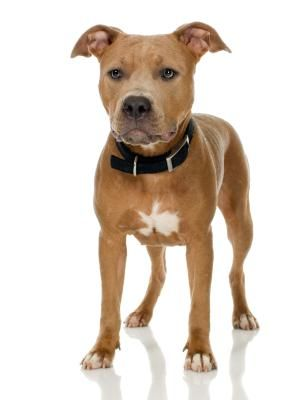 AKC Breed Standards for the American Pit Bull