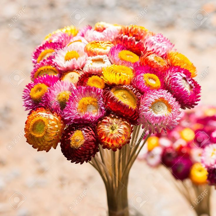 http://previews.123rf.com/images/gongzstudio/gongzstudio1307/gongzstudio130700013/20893512-Dry-straw-flower-or-everlasting-Helichrysum-bracteatum-Stock-Photo.jpg