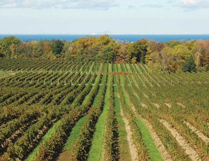 Vineyard in Twenty Valley, overlooking Lake Ontario and views of Toronto in the distance!