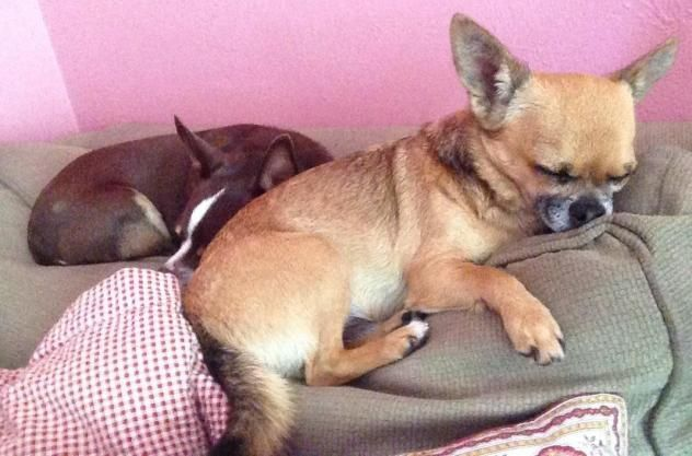 Chico and Paco  Dog • Chihuahua • Adult • Male • Small  Chihuahua/Small Dog Rescue of Central Florida Altamonte Springs, FL