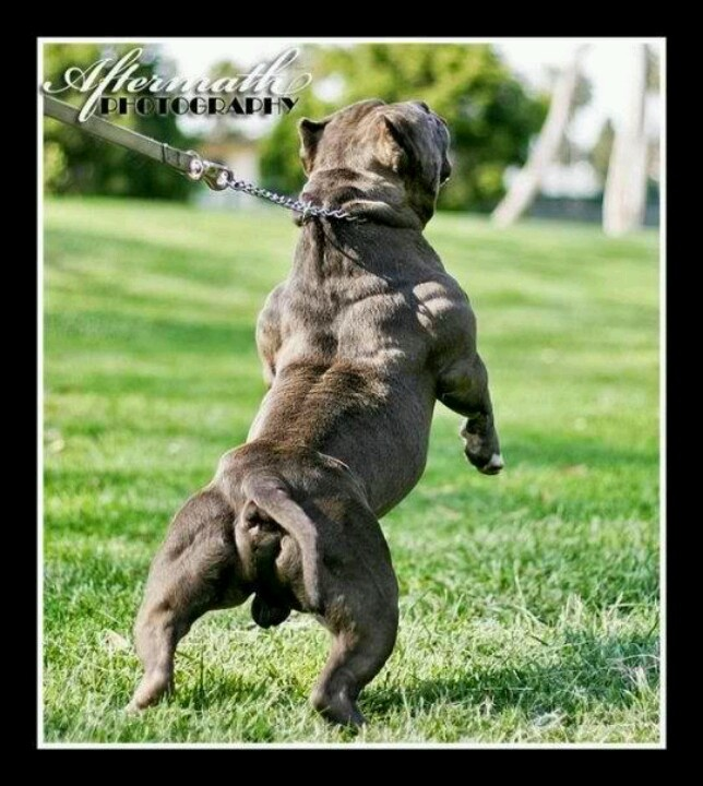 full grown pitbull terrier 96 best pitbulls pups full grown images on pinterest 4442