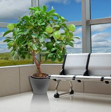 Key Lime Tree-- plant it indoors or out and enjoy a lifetime of limes!