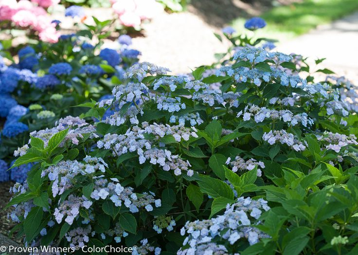 Tiny Tuff Stuff™ - Mountain Hydrangea - Hydrangea serrata | Proven Winners