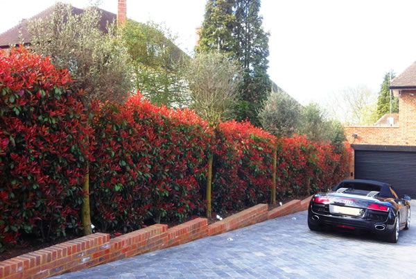 Best Hedging Plants: Five Top Picks - Photinia Red Robin
