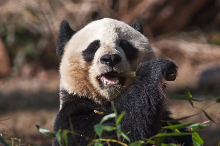 Panda Bear ~ art, photo, print, ears, picture, furry, exotic animal, eating bamboo, nature photography by DajDesigns on Etsy