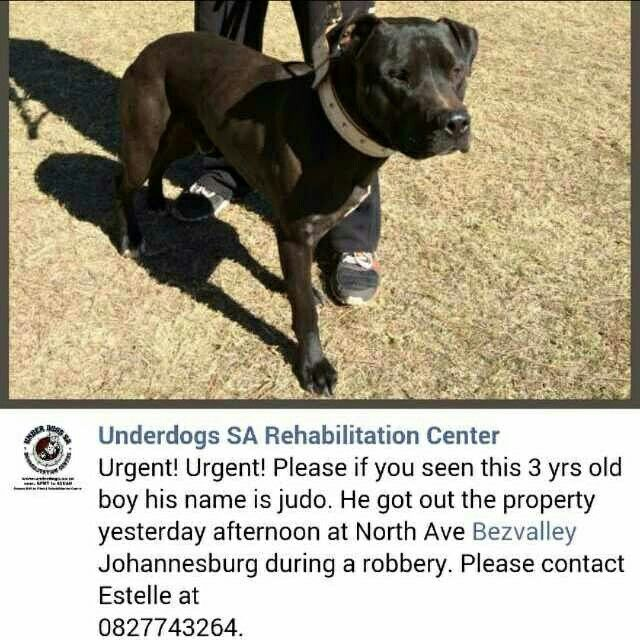 Please can we all stand together and help find our missing pitbull Judo. Our hearts are broken. Not only was our home broken into but the thieves let our beloved pitbull Judo out to the streets. Any info or safe return of Judo will be rewarded