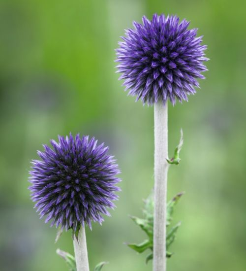 No plant is more loved by pollinators than Echinops. It's continually busy with butterflies and bees and flower for months. Makes an excellent cut flower too.