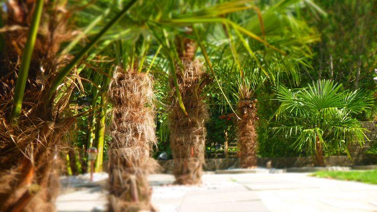 4 mal trachycarpus fortunei + 1 mal chamaerops humilis