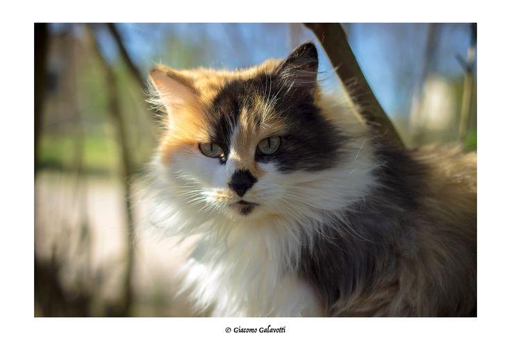 Il Gatto Selvatico - Un Gatto selvatico Beccato a Urbania in un gattile all'aperto, si è messo in posa da sola! Gatto a tre colori - sicuramente femmina.