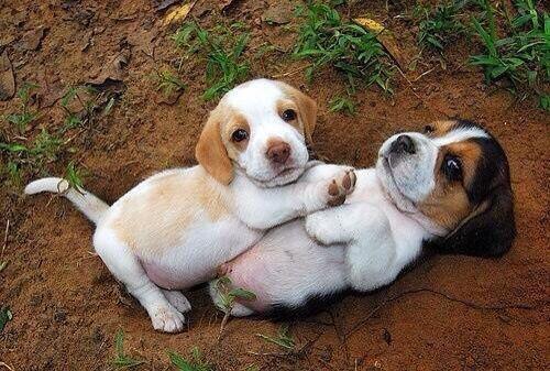 Beautiful Beagle babies.