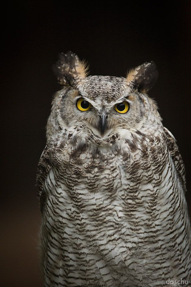 Great Horned Owl / Virginia-Uhu by DaSchu.deviantart.com on @DeviantArt