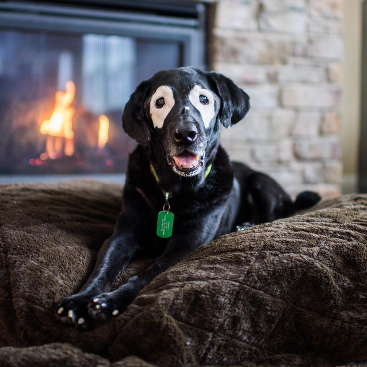 """Rowdy, Labrador Retriever (13 y/o), Canby, OR • """"He has vitiligo. I've seen other dogs that have it, but never so symmetrical. His belly and toenails turned white too (he used to be all black). He's..."""