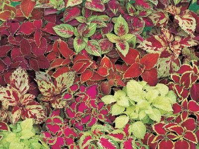 best coleus images on, Beautiful flower