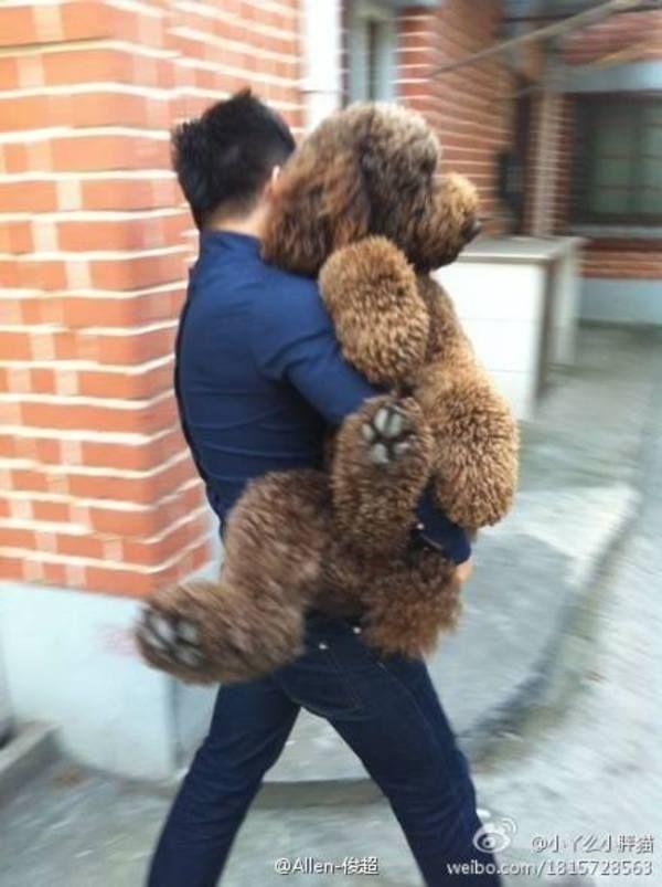 how to groom a standard poodle teddy bear cut