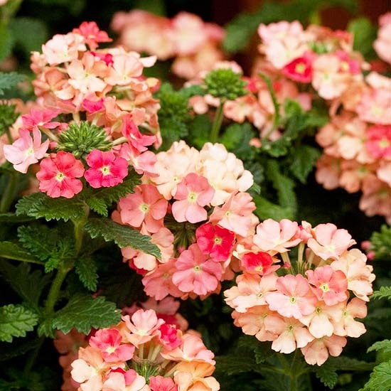 Superbena Peachy Keen Verbena: Keen Verbena, Peaches Colors, Pink Colors, Pretty Colors, Annual Flowers, Peachy Keen, Front Flowers Beds, Flowers Power, Hanging Baskets