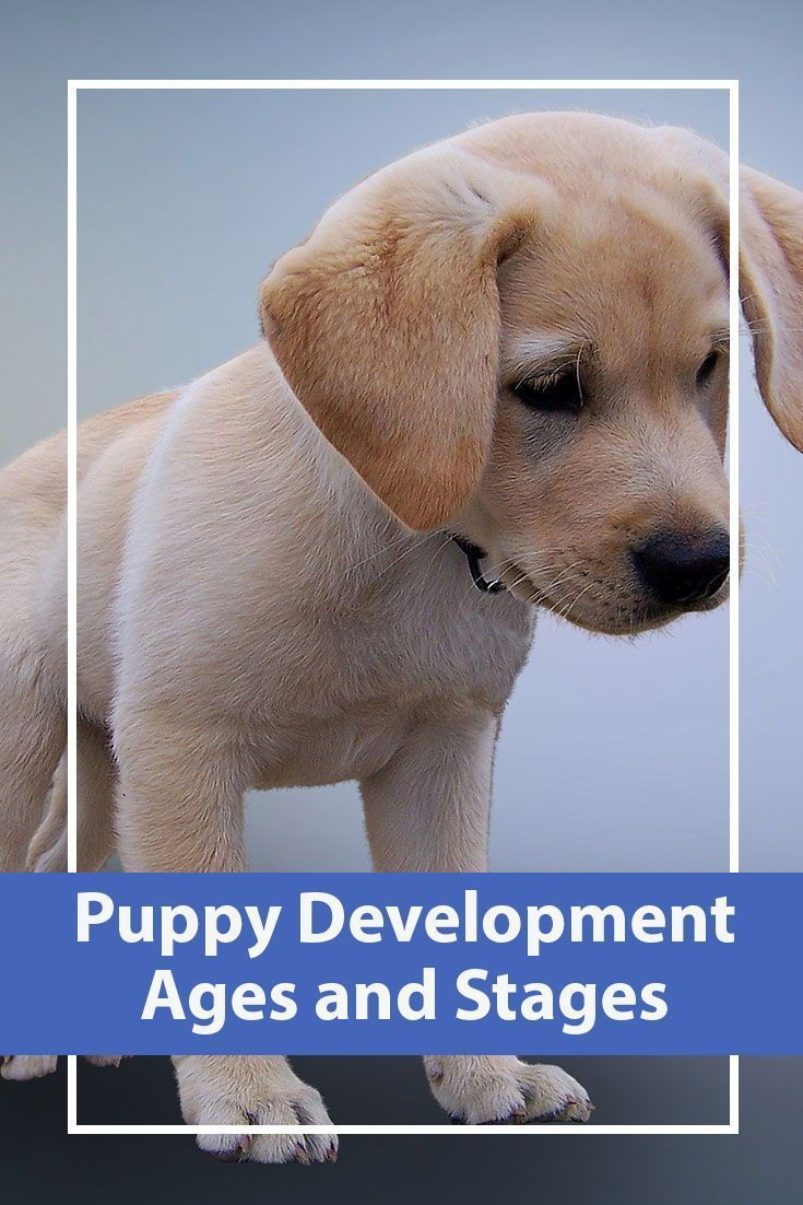 Puppy Development Ages And Stages Yorkiepuppystages Puppy