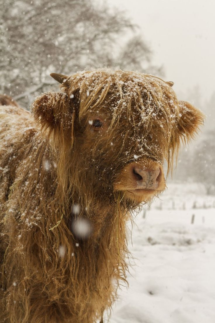 429 best scottish highland cattle images on pinterest highland