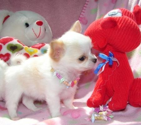 !! Süße Mini Chihuahua Welpen zu verkaufen ( VDH/FCI ) 165€ !!
