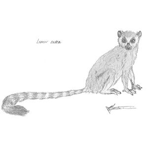 #Ring #Tailed #Lemur #art #sketch #illustration #drawing #animals #wildlife. Buy him here! http://bit.ly/2aQf5mP