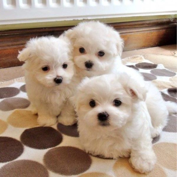 Maltese Puppies For Sale Lenah Valley 7008 Tas Dogs Puppies Pets 1659423089 Baalai Classifieds A Maltese Puppy Maltese Dogs Teacup Puppies Maltese