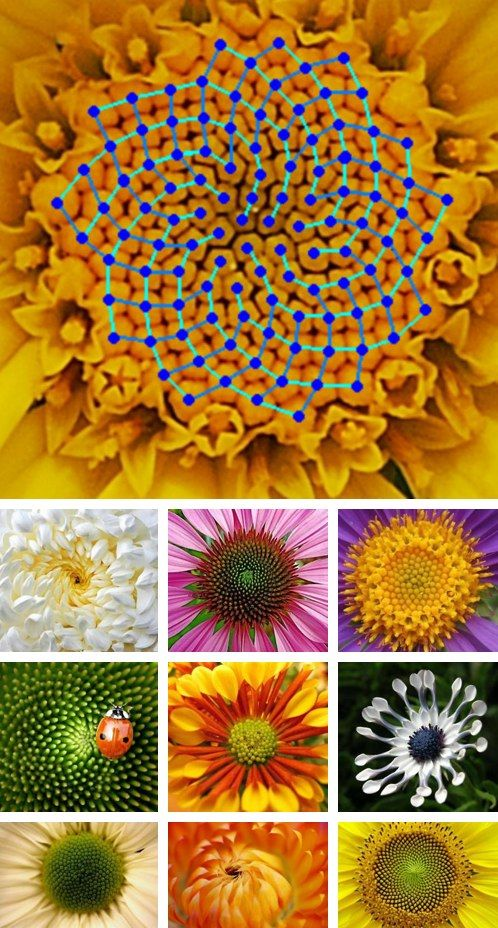 """""""The Fibonacci Sequence As Seen in Flowers"""" gallery by Environmental Graffiti"""