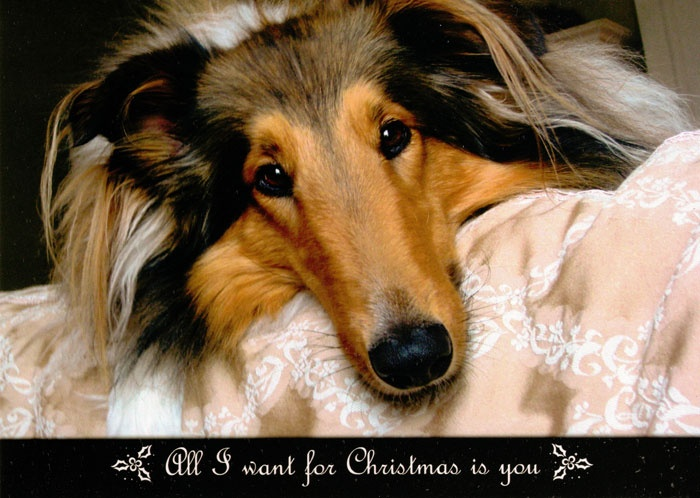Collie Rescue of the Carolinas Christmas Card 2012. They've placed 118 collies so far this year. If you can help-please do so and thanks