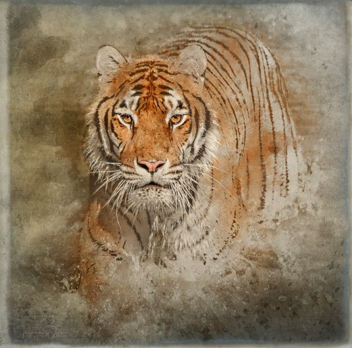 Tiger Splash Animal Art Print for sale by TL Wilson Photography  Available as poster, framed fine art print, metal, acrylic or canvas print. Teresa Wilson -tlwilsonphotography.com - Art for your Home Decor and Interior Design needs.