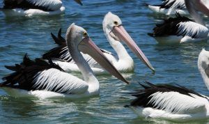gold coast river cruises eco tours pelican