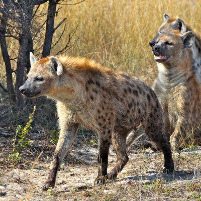 Яким чином гієни добувають собі їжу? полюють! Гієни раніше вважалися боязкими падальщиками і ця думка надаль досить поширене явище. Але сучасні дослідження показали, що 95% їжі вони добувають собі самі полюючи або відбираючи здобич у леопарда або лева.