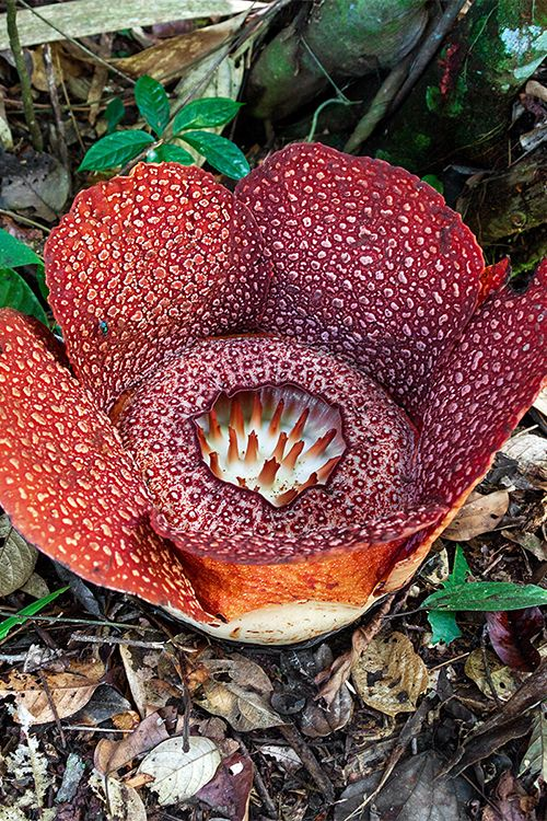 Ever wondered what the world's largest flower is? Discover