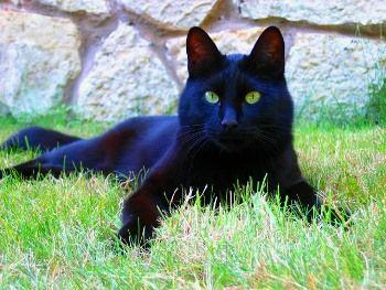 Gato Europeo Negro http://www.mascotadomestica.com/razas-de-gatos/gato-europeo-negro.html