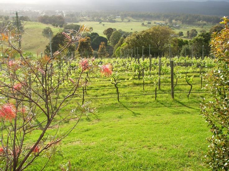 Pokolbin Vineyard, New South Wales, Australia