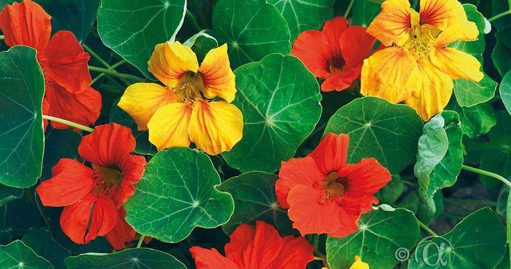 Blomkarse, Stor, Tom Thumb, blanding