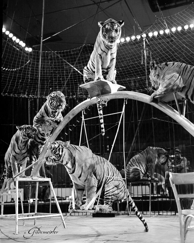 Trevor Bale tiger's 1958.  please stop the abuse of circus animals by boycotting current circuses that use animals in their acts