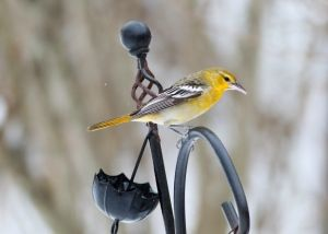 DNA test restores besmirched birder's reputation after alleged misidentification: Amateur ornithologist Ray Holland spotted Bullock's oriole in Pakenham, Ont., 1 year ago (CBC News 05 November 2016)